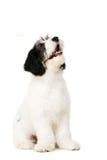 Polish Lowland Sheepdog isolated on a white background Stock Images