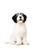 Polish Lowland Sheepdog isolated on a white background Royalty Free Stock Photo