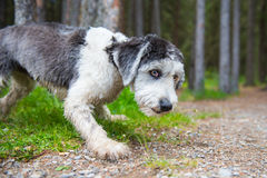 Polish Lowland Sheepdog. In a mountain forest Royalty Free Stock Image
