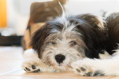 Polish Lowland Sheepdog. Puppy playing at home Stock Photography