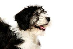Polish Lowland Sheepdog on a white background Stock Photo