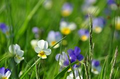 Polish meadow flowers. Colorful wild pansies growing on a meadow stock photography