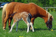 Polish miniature horse mare feeding her foal Royalty Free Stock Photography