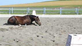Polish mongrel breed lying in sand. Polish mongrel breed lying in the sand stock video