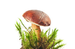 Polish mushroom background in the green grass on white Royalty Free Stock Images