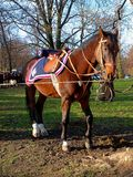 Polish Mustang uhlan. Horse cavalry in anticipation of the parade Royalty Free Stock Photos