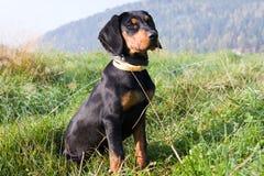 Polish Scenthound Dog Stock Image