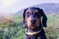 Polish Scenthound Dog Royalty Free Stock Images