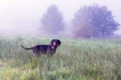 Polish Scenthound Dog Stock Photos
