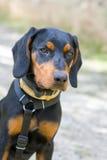 Polish Scenthound Dog Stock Photo