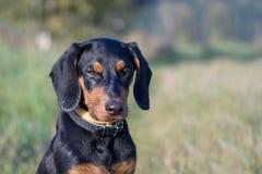 Polish Scenthound Dog Stock Photography