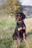 Polish Scenthound Dog Stock Images