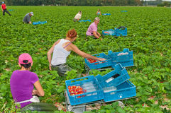Polish seasonal workers picking strawberries. Harvesting strawberries at a field near the Dutch village of Wouw, North-Brabant. Polish foreign workers picking Royalty Free Stock Images