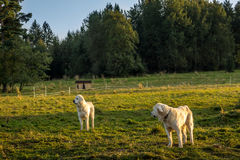 Polish Tatra Sheepdog Stock Image