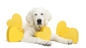 Polish Tatra Sheepdog with eyes closed and lying between yellow hearts, also known as Owczarek Tatrzanski. Owczarek Podhalanski or Polski Owczarek gift royalty free stock photo