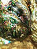 Polished Abalone with mother of pearl stock image