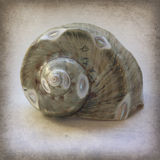 Polished Sea Shell on Grunge-Vintage Texture Stock Image