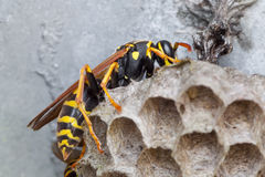 Polistes associus Royalty Free Stock Images