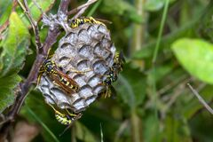 Free Polistes Dominula Paper Wasps Taking Care Of Their Newly Built Nest Royalty Free Stock Image - 192007056