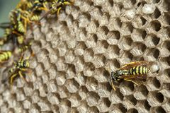 Polistes dominula wasp nest with some specimens of wasp. Wasp colony insect animal nest honeycomb hive wildlife sting black poison yellow nobody paper stinger royalty free stock photo