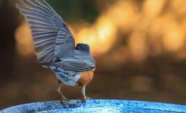 Politischer Robin-linker Flügel Stockbild