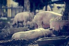 Politowanie świni dosypianie obrazy stock