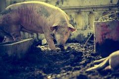 Politowanie świnia zdjęcia royalty free