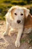 Politowanie imbiru pies Plenerowy na Zielonym tle obraz stock