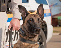 Polizeihund betriebsbereit zur Arbeit Stockfotografie