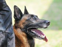 polizia del cane Immagini Stock Libere da Diritti
