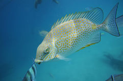 Polka dot fish Royalty Free Stock Photo