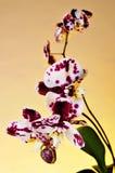 Polka dot Phalaenopsis orchid Royalty Free Stock Image