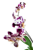 Polka dot Phalaenopsis orchid Stock Image