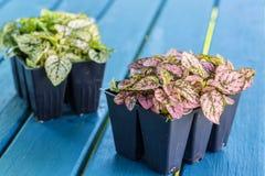 Polka Dot Plant Royalty Free Stock Image