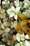 (Hypoestes phyllostachya). Polka Dot Plants Crop (Hypoestes phyllostachya Royalty Free Stock Image