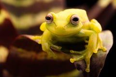 Polka dot tree frog Hypsiboas punctatus. Polka dot tree frog, Hypsiboas punctatus. Animal from the tropical Amazon rain forest. A beautiful curious yellow Royalty Free Stock Images