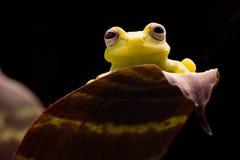 Polka dot tree frog Hypsiboas punctatus stock photo