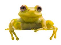 Polka dot tree frog, Hypsiboas punctatus. Animal from the tropical Amazon rain forest. A beautiful curious yellow treefrog isolated on white background royalty free stock images
