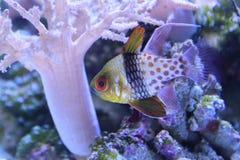 Polkadot cardinalfish. Floating in water royalty free stock photography