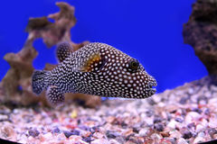 Polkadot fish. Photograph of underwater tropical fish with some amazing bumped details on the head Royalty Free Stock Photo