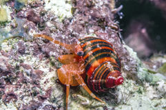 Polkadotted hermit crab Royalty Free Stock Image