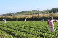 Polkadraai Strawberry picking farm in Cape Town stock photos