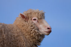 Poll Dorset Sheep. Profile of a Poll Dorset Sheep, a rare breed derived from the Dorset Horn Sheep and, uniquely, able to breed all year round Stock Photography