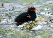 Polla de agua Fotos de archivo