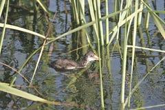Polla de agua Fotografía de archivo libre de regalías