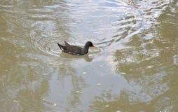 Polla de agua adulta fotografía de archivo