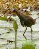 Polla de agua brasileña fotos de archivo libres de regalías