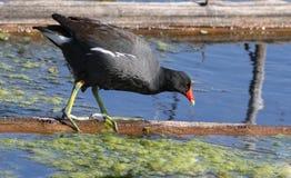 Polla de agua común Fotos de archivo
