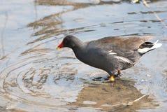 Polla de agua común Imagen de archivo