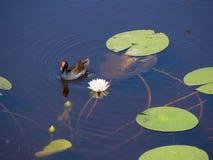 Polla de agua común Imagen de archivo libre de regalías